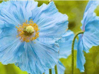 Magel'design - blue poppies 120x80 cm , 3d effet relief - Tableau Contemporain