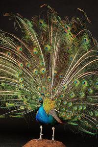 MASAI GALLERY - paon bleu - Oiseau