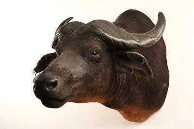 MASAI GALLERY - Animal naturalis�-MASAI GALLERY-Buffle �quinoxial