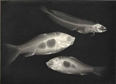 LINEATURE - Photographie-LINEATURE-X-ray. Two goldfish and a saltwater fish - 1896