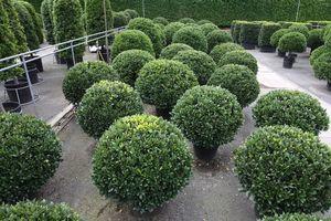 LAURETUM -  - Bay Tree