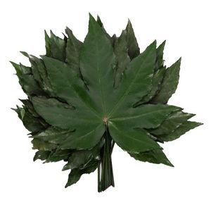 Verdissimo - aralia - Potted Foliage